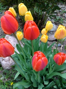 Last year's tulips