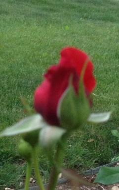 rose 1 2013