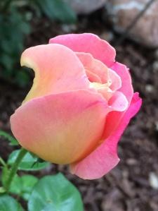 Rose September 11